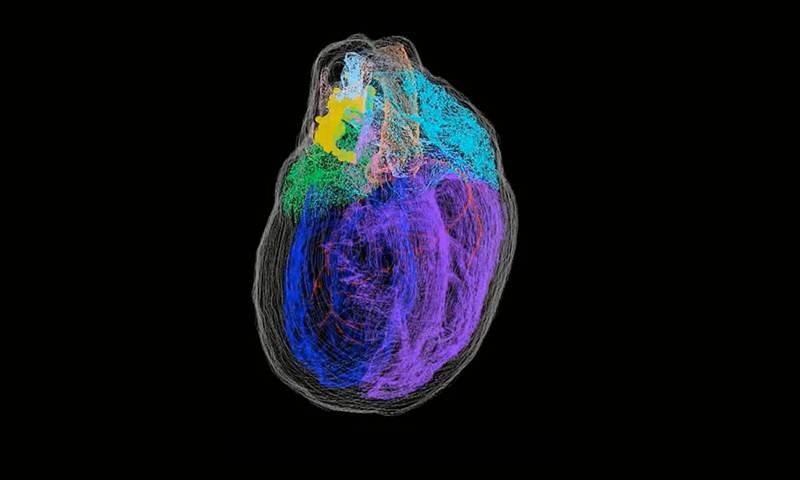 Ο πρώτος τρισδιάστατος χάρτης των νευρώνων της καρδιάς