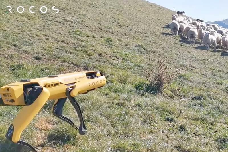 Spot: Το ρομπότ-σκύλος εργάζεται και ως....τσομπανόσκυλο