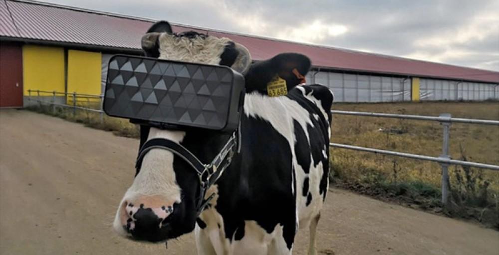 Αγελάδες με VR headsets για καλύτερη παραγωγή γάλακτος...