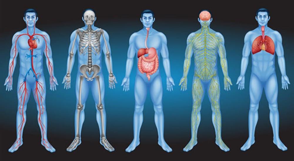 "Interstitium: Αυτό είναι το νέο ""όργανο"" που ανακάλυψαν στο ανθρώπινο σώμα και ποιος ο ρόλος του"